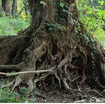 A huge tree at the bottom with a mess of huge tangled roots, in a forest