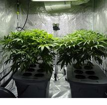 Two very large marijuana plants in pots under a grow light
