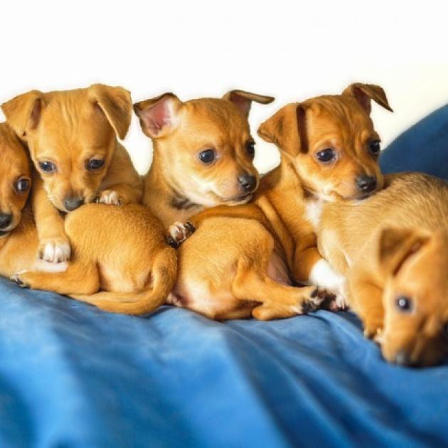 Chihuahua puppies