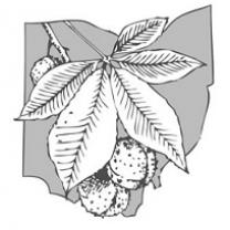 Drawing of a buckeye leaf and nut on top of the state of Ohio