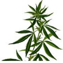 Leaves of marijuana plant