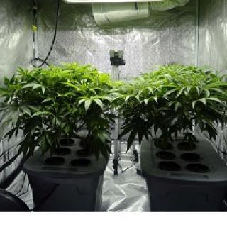 Two green leafy marijuana plants in pots