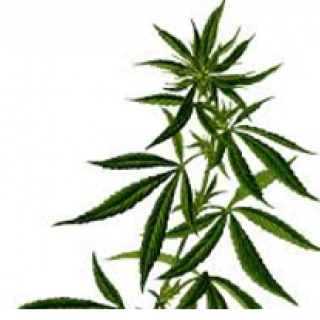 Leaves of marijuana plant