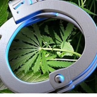 Silver handcuffs laying on marijuana leaves