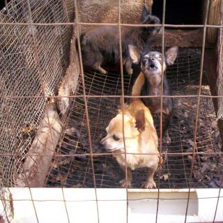 Little brown dog with pointy ears and short legs looking out of a cage with two other dogs behind